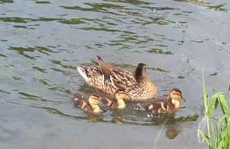 280501 ducklings web.jpg (8727 bytes)